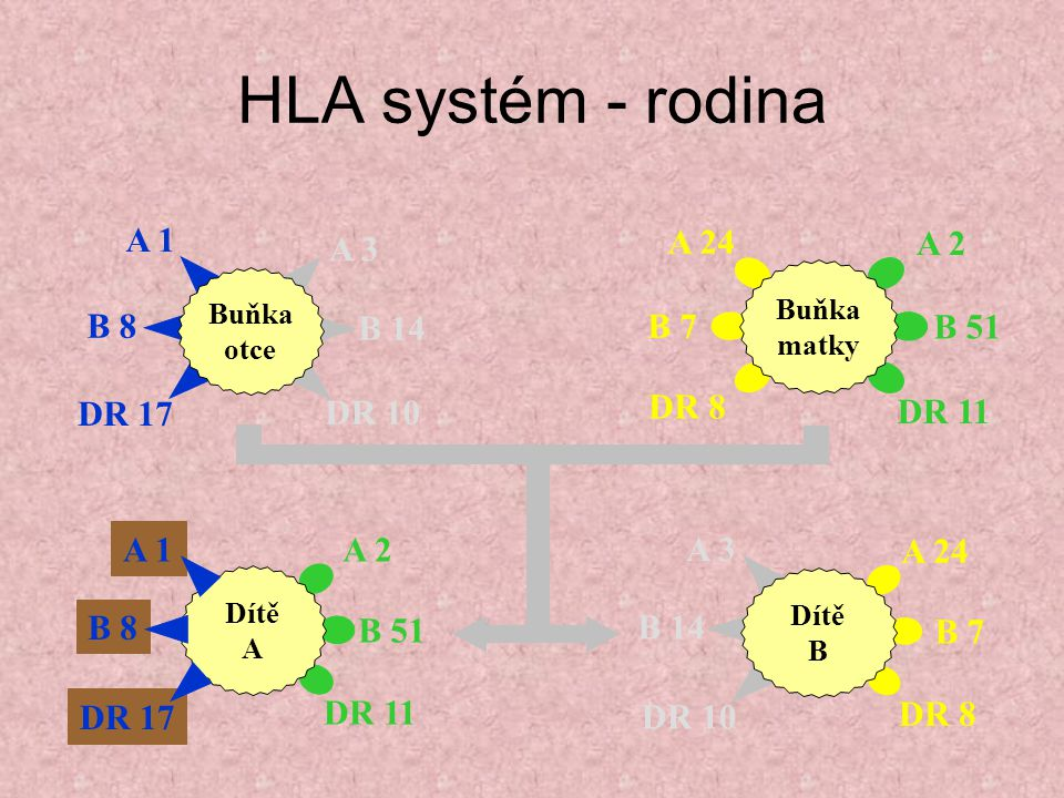 HLA systém - rodina A 2 B 51 DR 11 A 1 B 8 DR 17 A 3 B 14 DR 10 A 24
