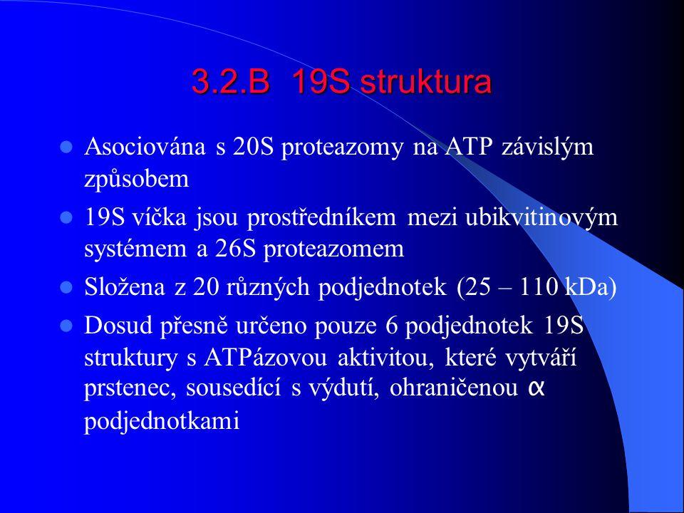 3.2.B 19S struktura Asociována s 20S proteazomy na ATP závislým způsobem.