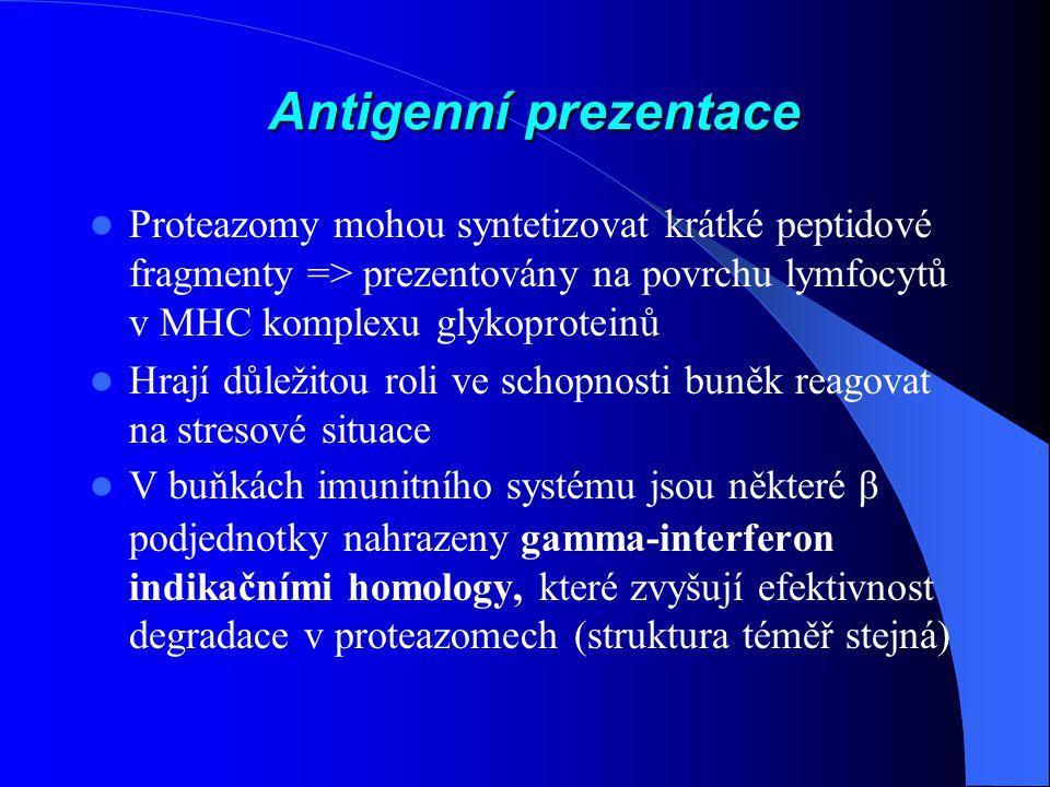 Antigenní prezentace Proteazomy mohou syntetizovat krátké peptidové fragmenty => prezentovány na povrchu lymfocytů v MHC komplexu glykoproteinů.