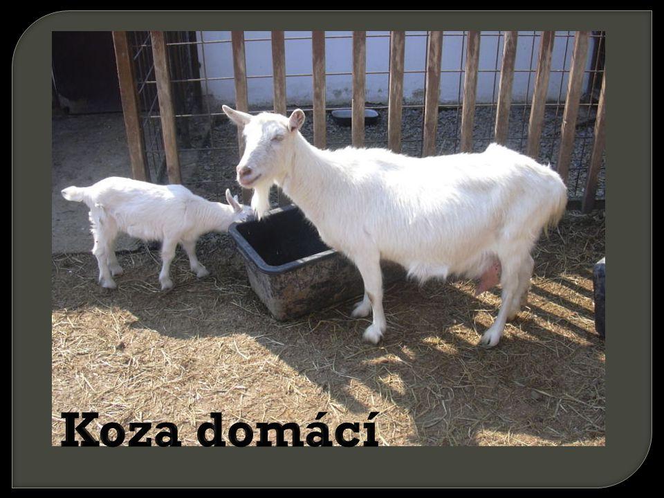 Koza domácí