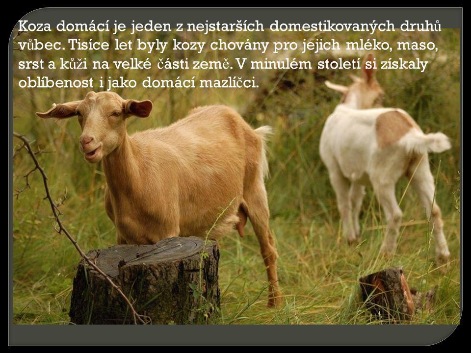 Koza domácí je jeden z nejstarších domestikovaných druhů vůbec