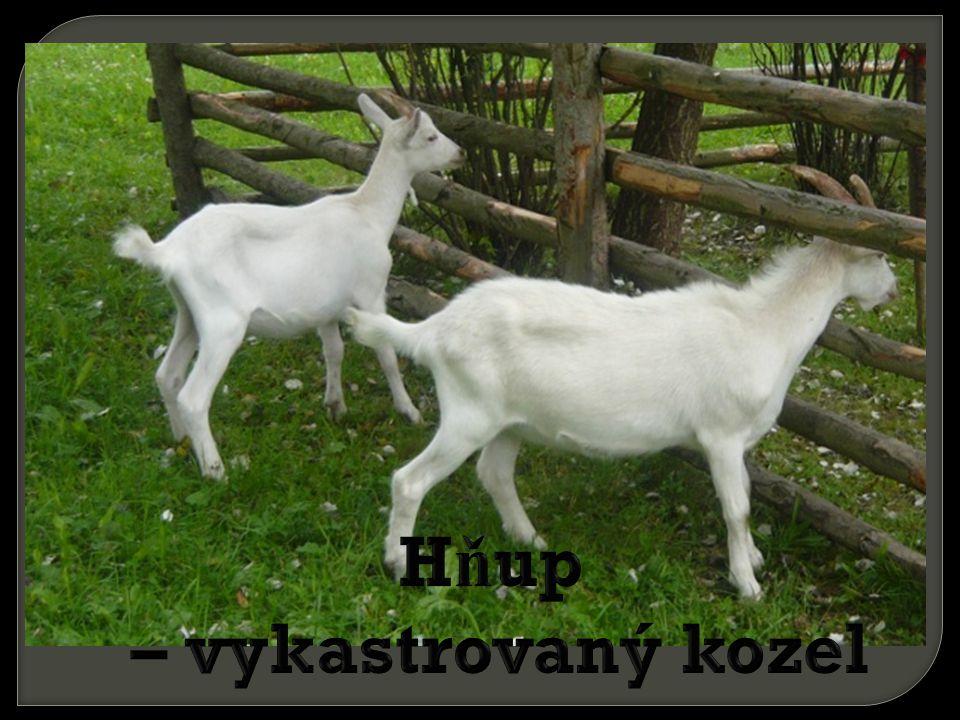 Hňup – vykastrovaný kozel