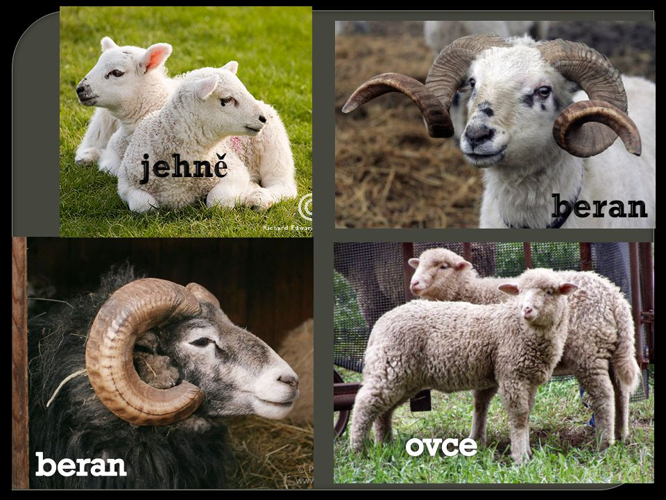 jehně beran ovce beran