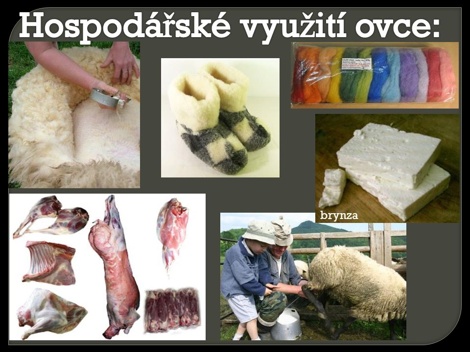 Hospodářské využití ovce: