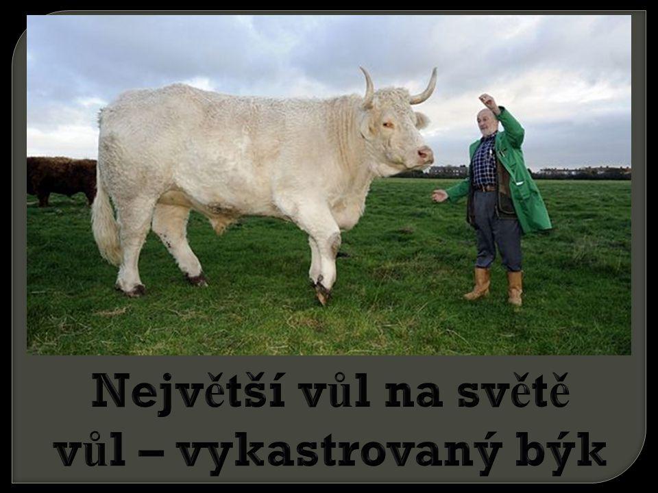 Největší vůl na světě vůl – vykastrovaný býk