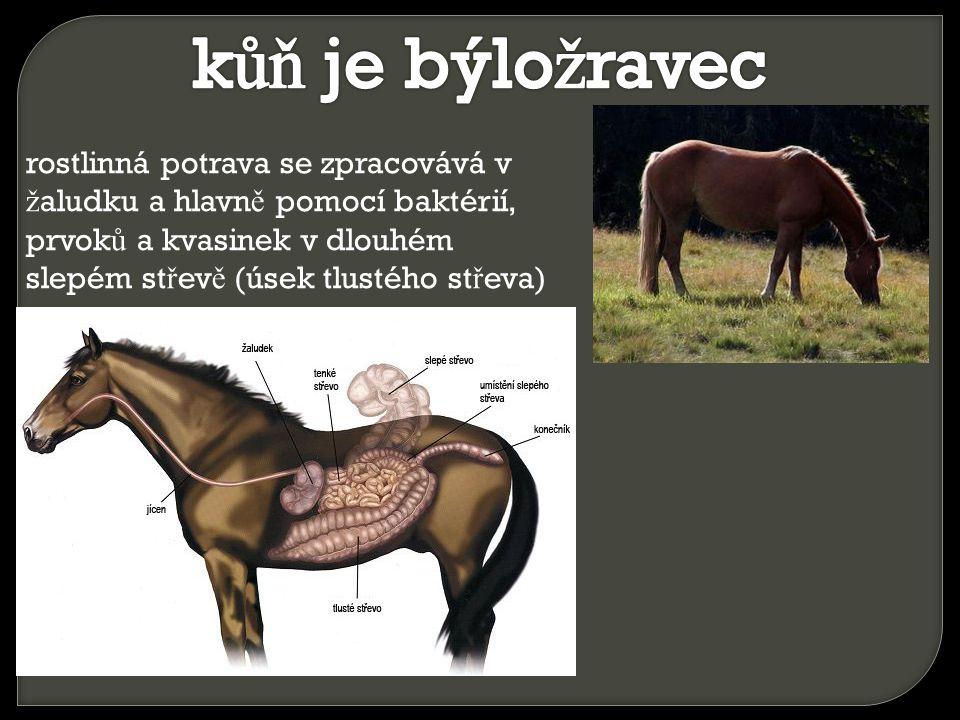kůň je býložravec