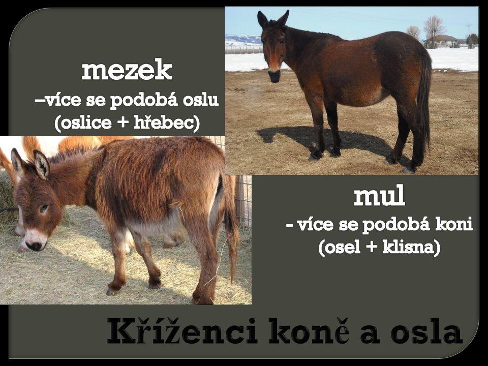 Kříženci koně a osla mezek –více se podobá oslu