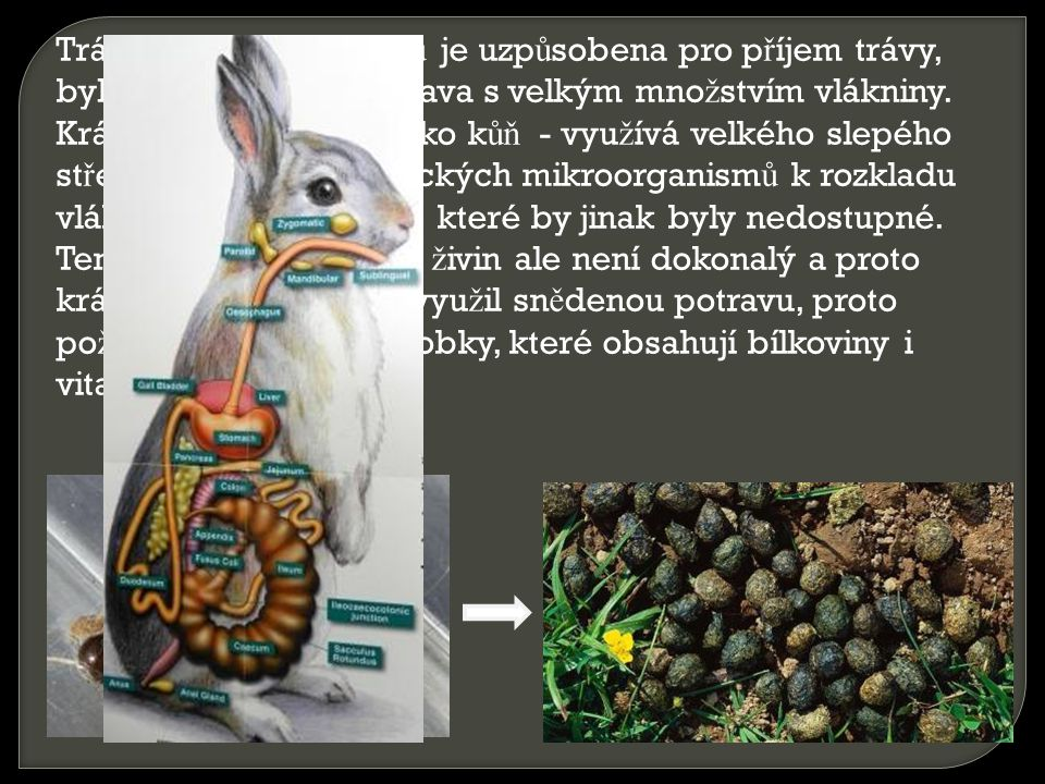 Trávící soustava králíků je uzpůsobena pro příjem trávy, bylin a listů, což je potrava s velkým množstvím vlákniny. Králík tráví podobně jako kůň - využívá velkého slepého střeva plného symbiotických mikroorganismů k rozkladu vlákniny a získání živin, které by jinak byly nedostupné.