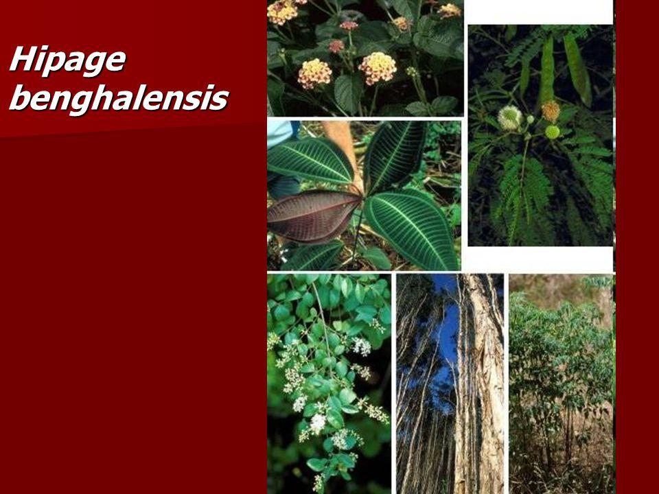 Hipage benghalensis