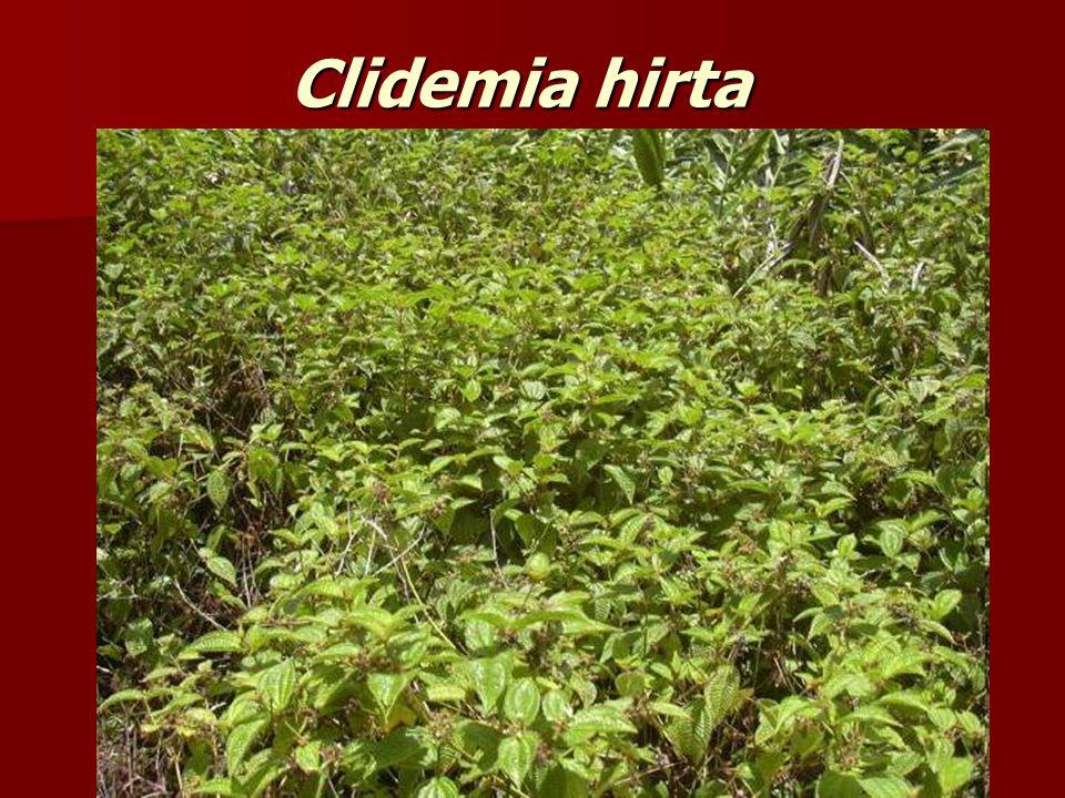 Clidemia hirta
