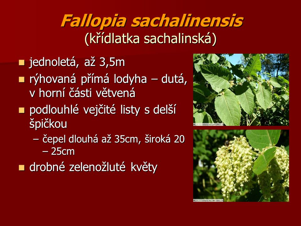 Fallopia sachalinensis (křídlatka sachalinská)