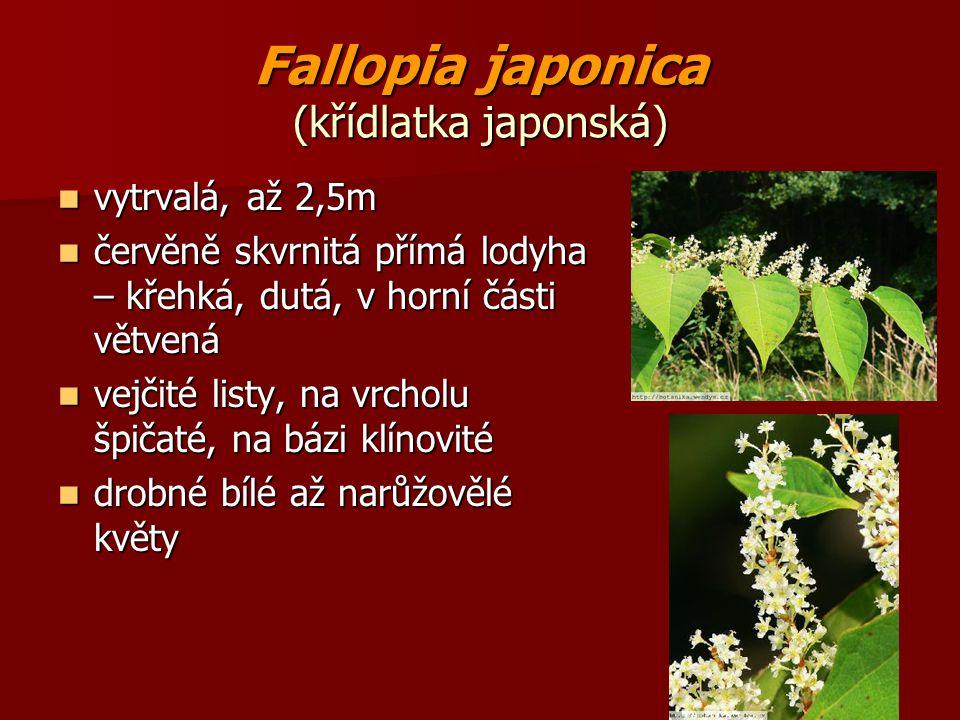 Fallopia japonica (křídlatka japonská)
