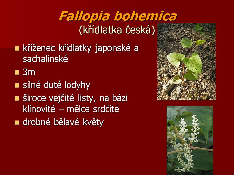 Fallopia bohemica (křídlatka česká)
