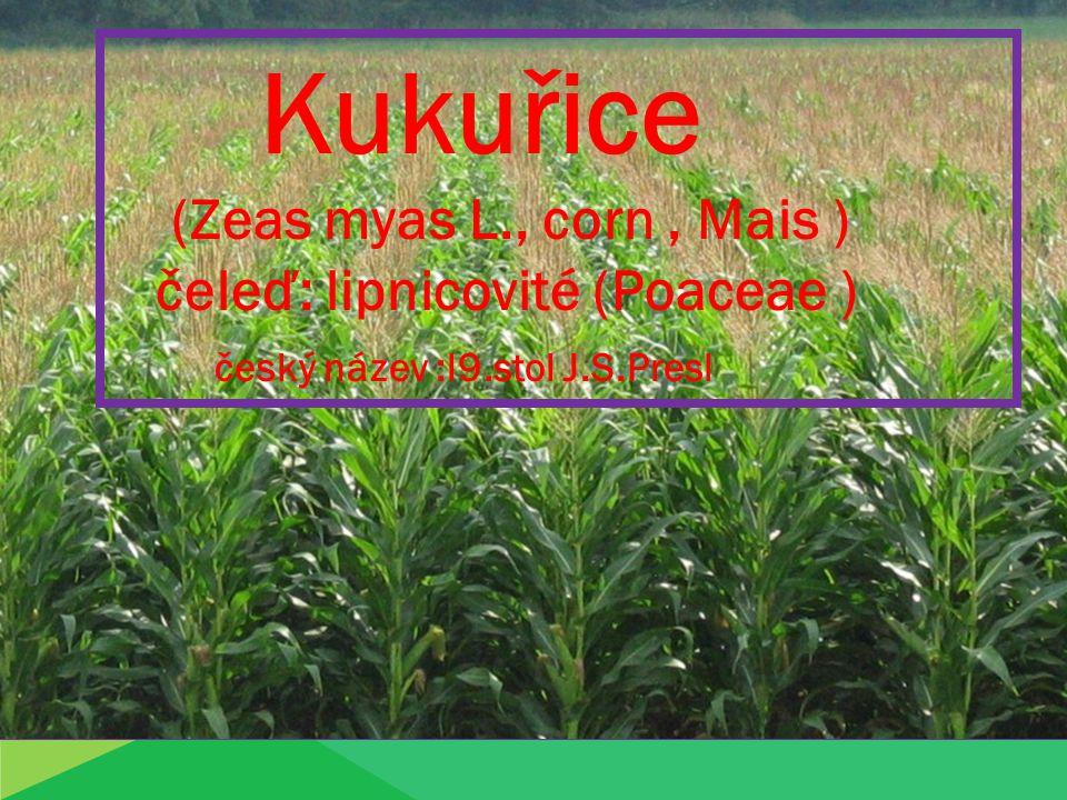 Kukuřice (Zeas myas L., corn , Mais ) čeleď: lipnicovité (Poaceae )