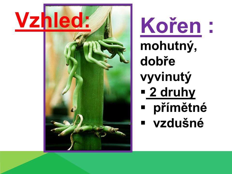 Kořen : mohutný, dobře vyvinutý