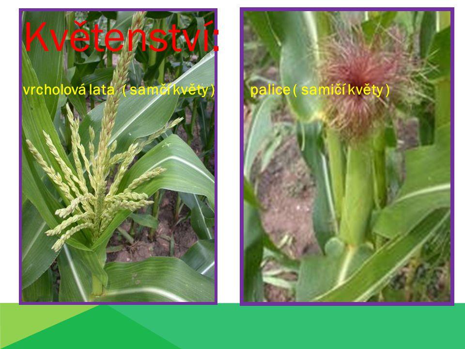 Květenství: vrcholová lata ( samčí květy ) palice ( samičí květy )