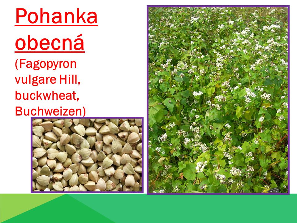 Pohanka obecná (Fagopyron vulgare Hill, buckwheat, Buchweizen)