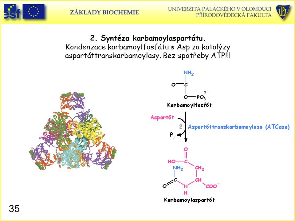 2. Syntéza karbamoylaspartátu