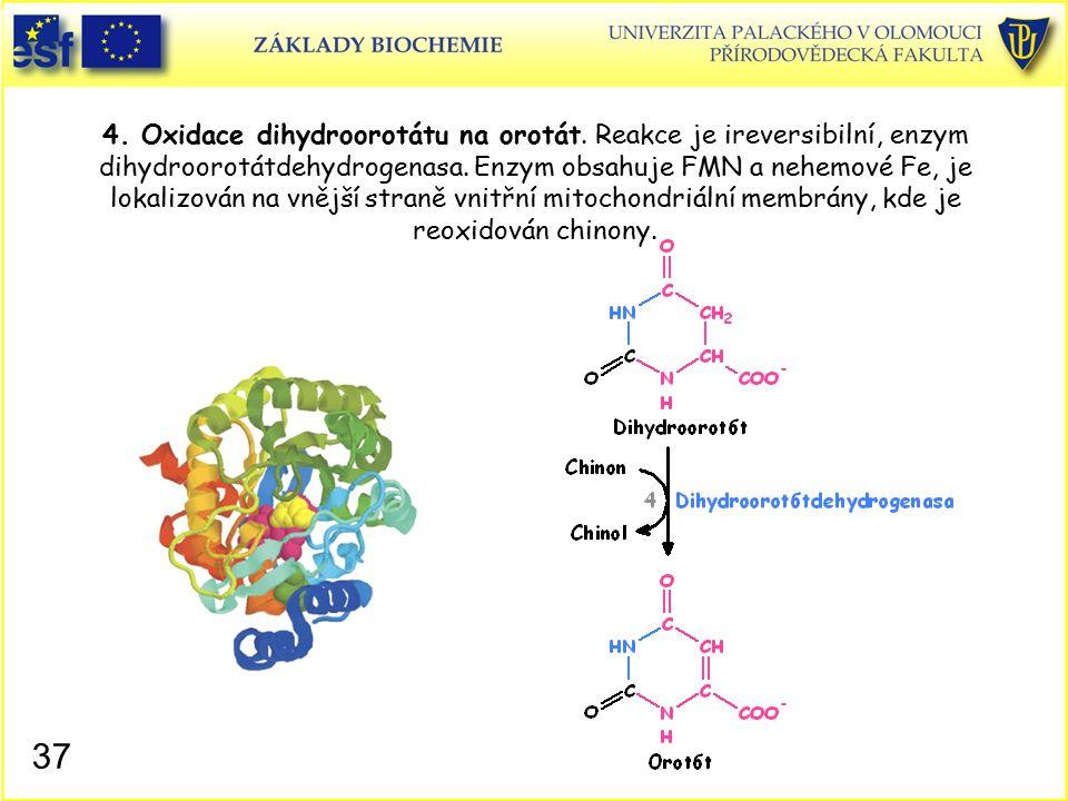 4. Oxidace dihydroorotátu na orotát