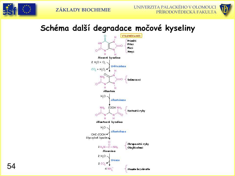 Schéma další degradace močové kyseliny