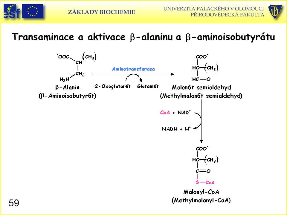Transaminace a aktivace b-alaninu a b-aminoisobutyrátu