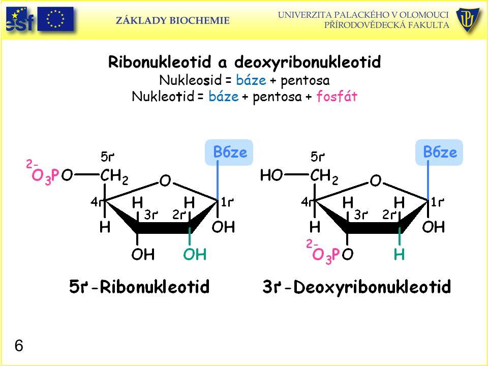 Ribonukleotid a deoxyribonukleotid Nukleosid = báze + pentosa Nukleotid = báze + pentosa + fosfát