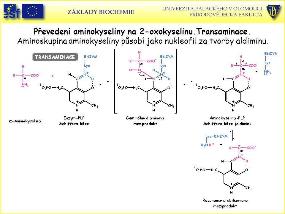 Převedení aminokyseliny na 2-oxokyselinu. Transaminace