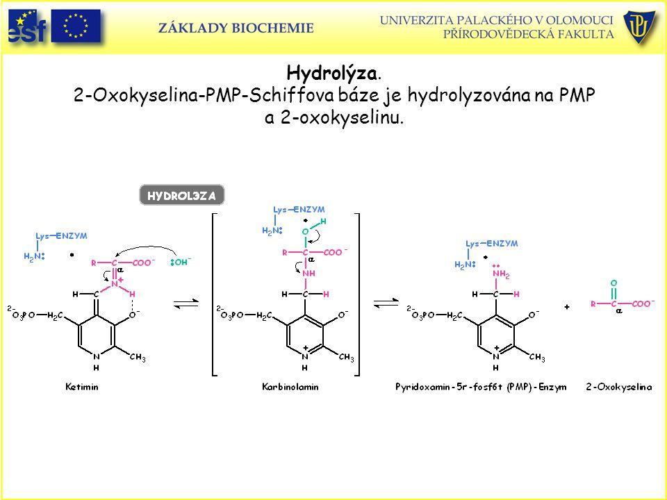 Hydrolýza. 2-Oxokyselina-PMP-Schiffova báze je hydrolyzována na PMP a 2-oxokyselinu.