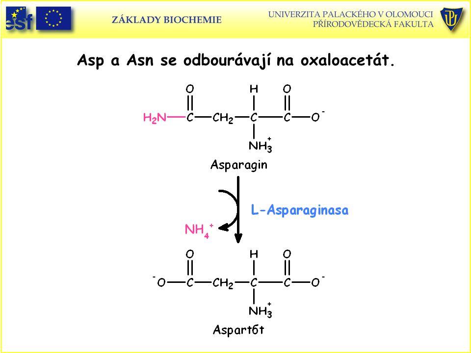 Asp a Asn se odbourávají na oxaloacetát.