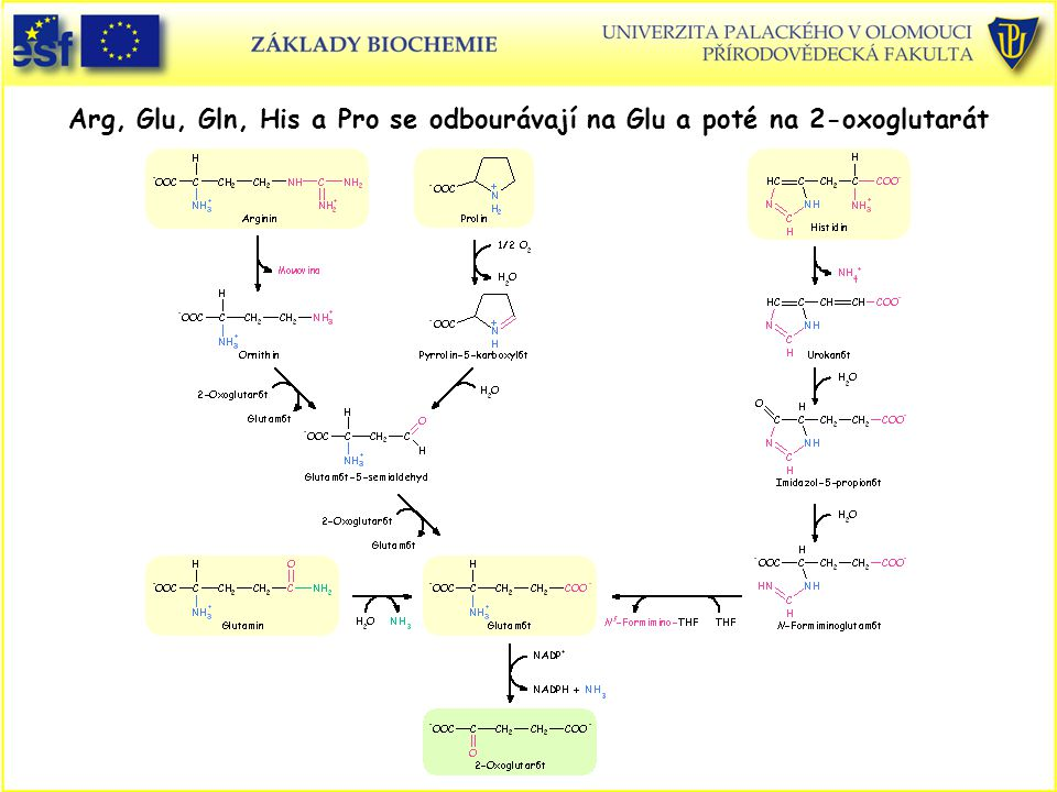 Arg, Glu, Gln, His a Pro se odbourávají na Glu a poté na 2-oxoglutarát