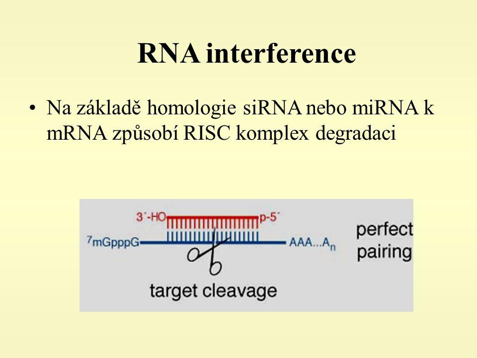 RNA interference Na základě homologie siRNA nebo miRNA k mRNA způsobí RISC komplex degradaci