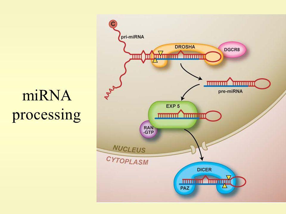 miRNA processing