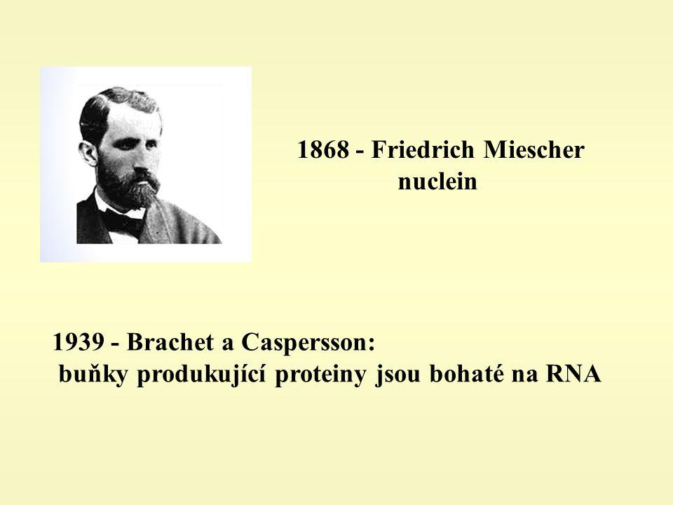 - Brachet a Caspersson: buňky produkující proteiny jsou bohaté na RNA