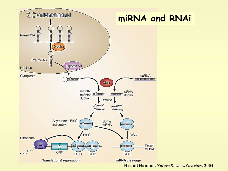 miRNA and RNAi He and Hannon, Nature Reviews Genetics, 2004