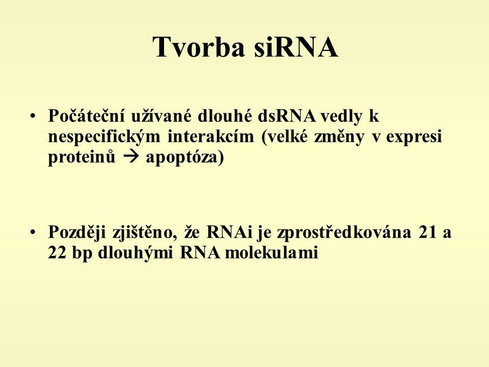 Tvorba siRNA Počáteční užívané dlouhé dsRNA vedly k nespecifickým interakcím (velké změny v expresi proteinů  apoptóza)