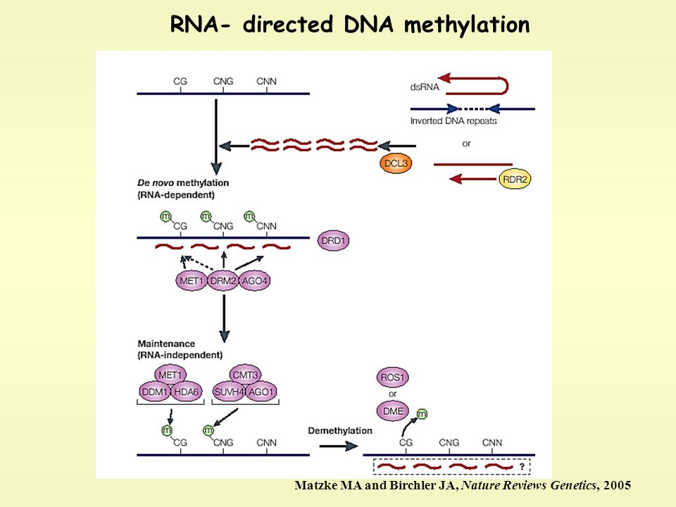 RNA- directed DNA methylation