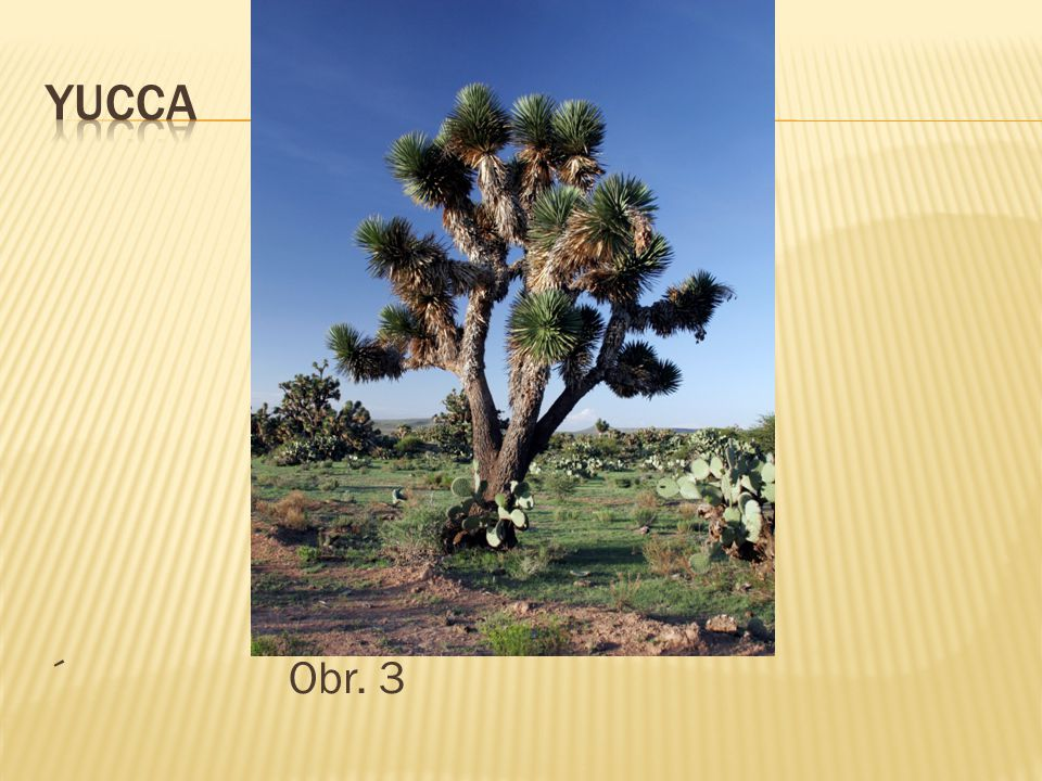 yucca ´ Obr. 3
