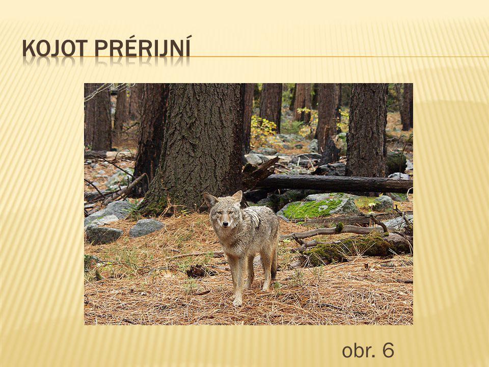 Kojot prérijní obr. 6