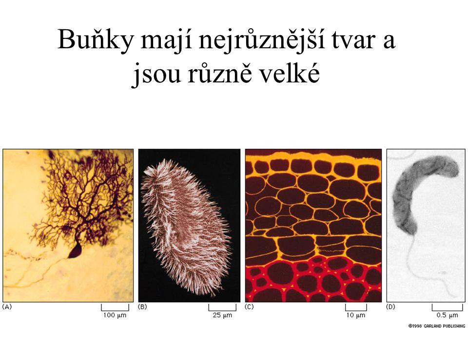 Buňky mají nejrůznější tvar a jsou různě velké