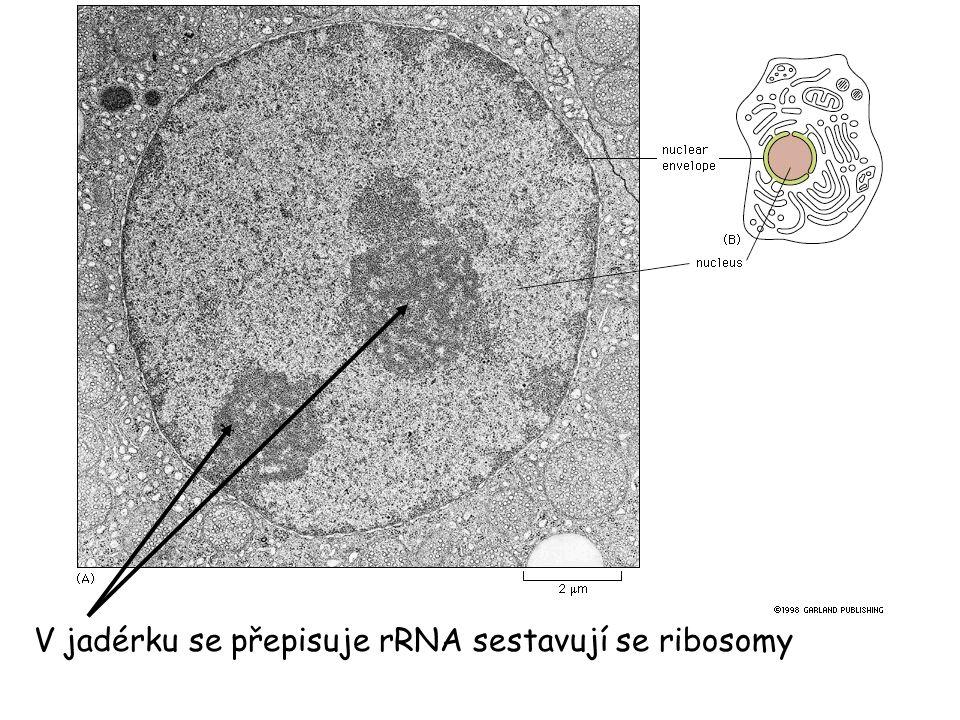 V jadérku se přepisuje rRNA sestavují se ribosomy