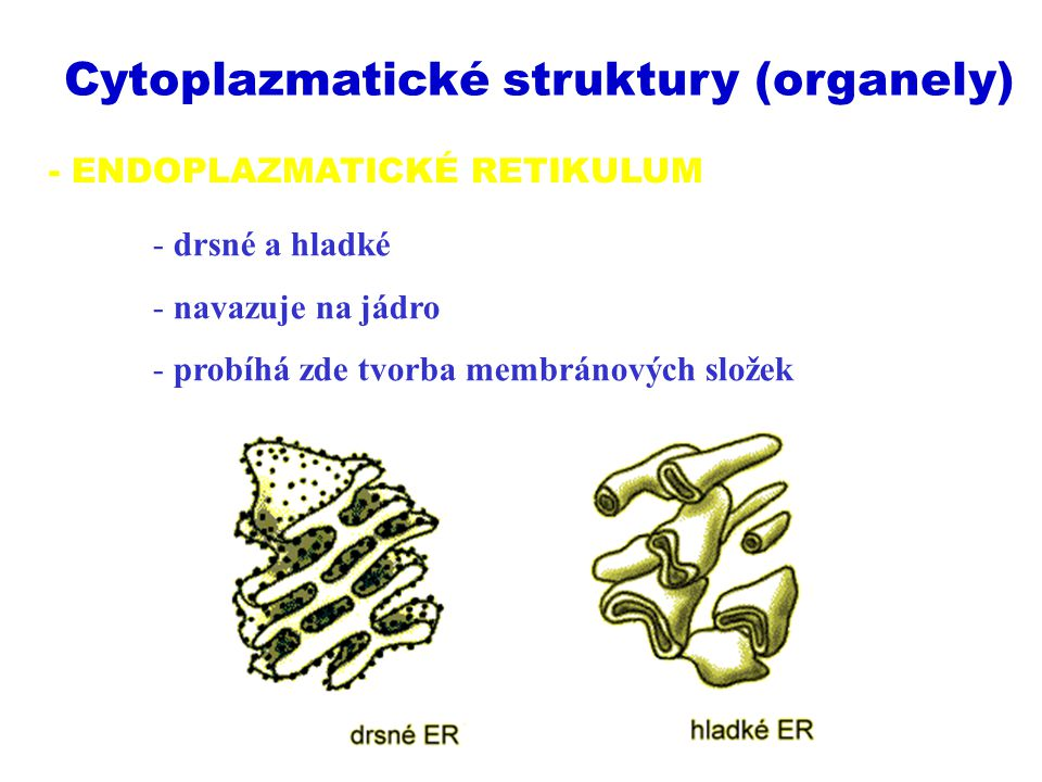 - ENDOPLAZMATICKÉ RETIKULUM