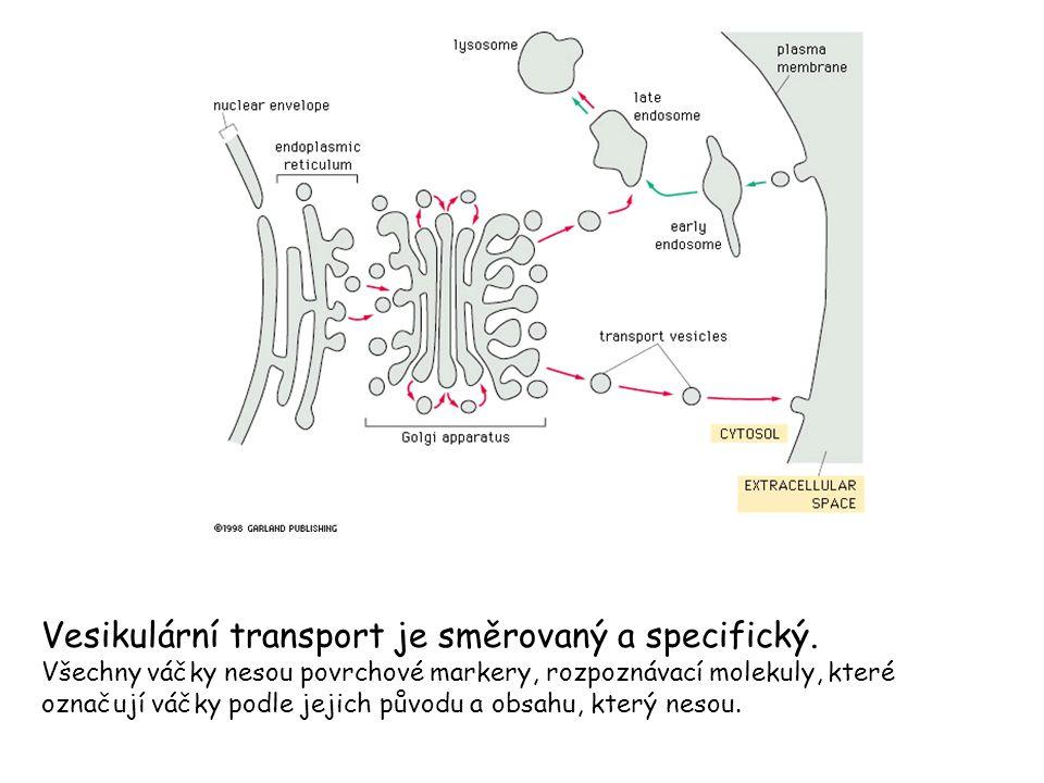 Vesikulární transport je směrovaný a specifický.