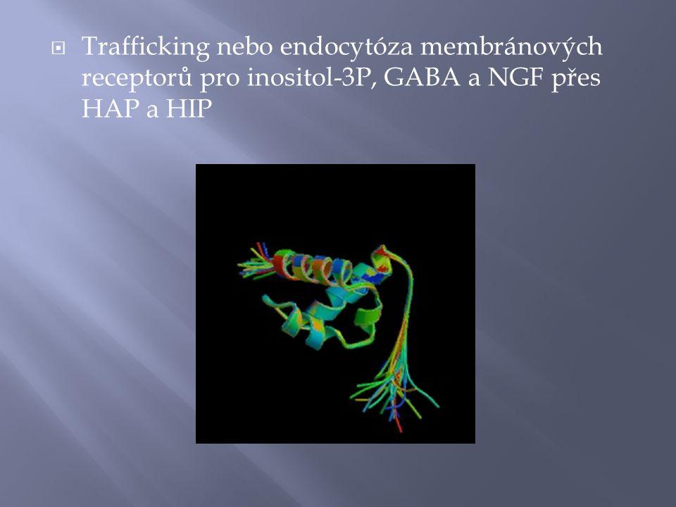 Trafficking nebo endocytóza membránových receptorů pro inositol-3P, GABA a NGF přes HAP a HIP