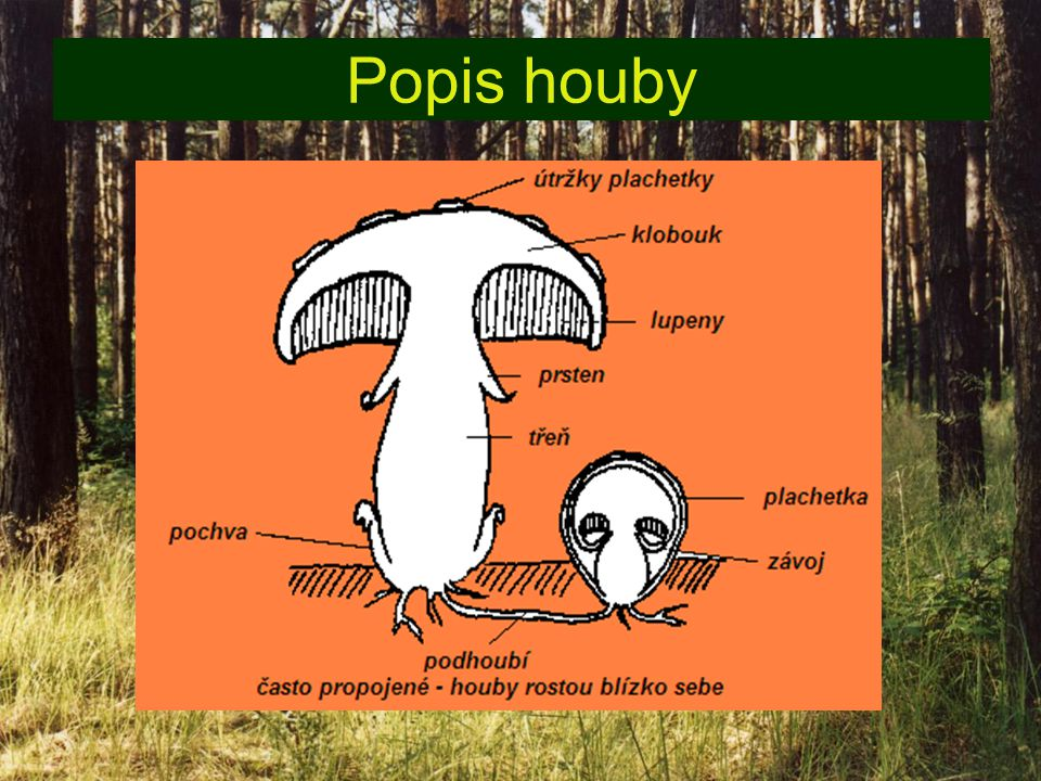 Popis houby