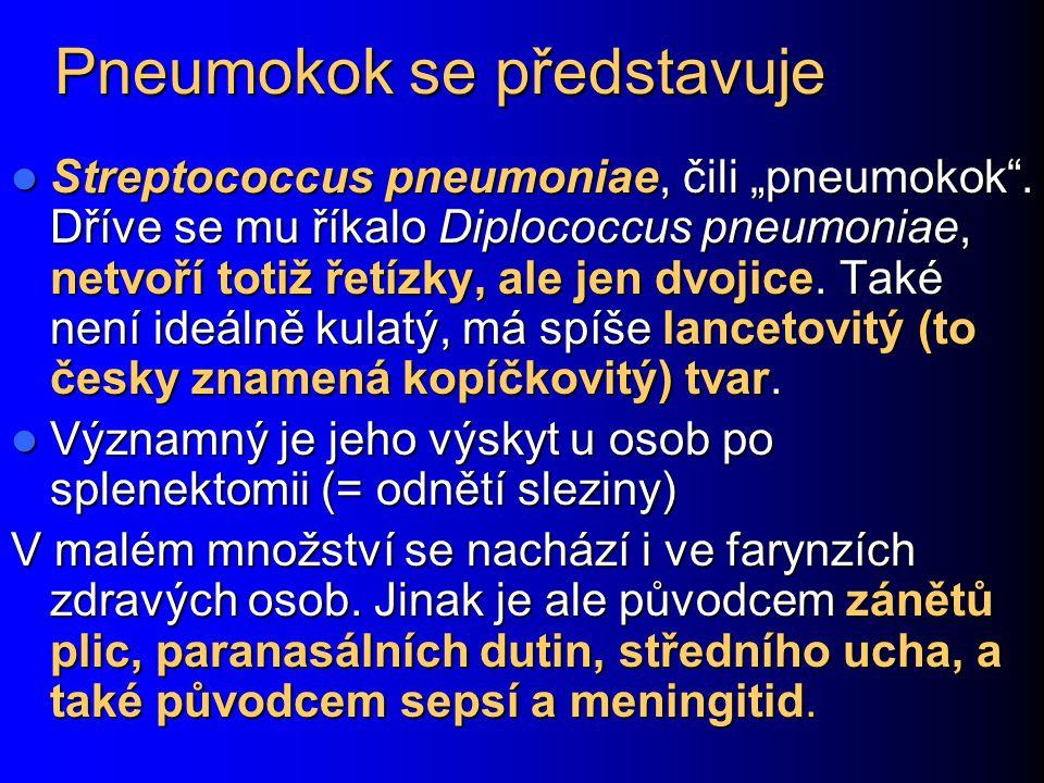 Pneumokok se představuje