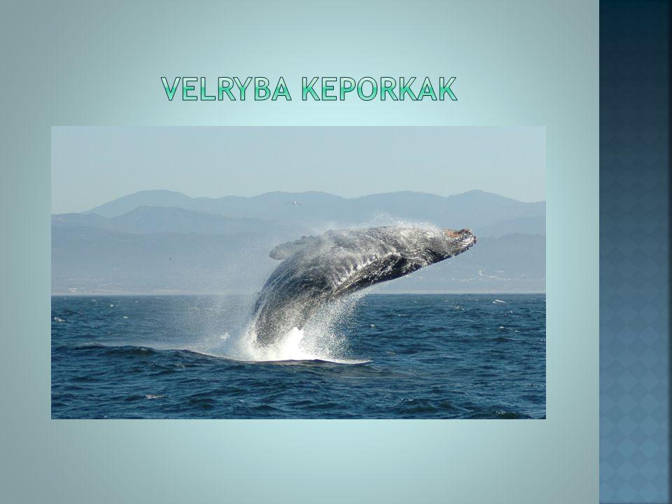 velryba kEPORKAK