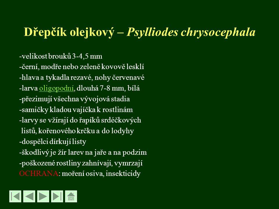 Dřepčík olejkový – Psylliodes chrysocephala