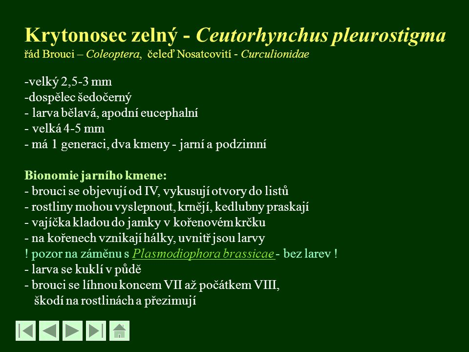 Krytonosec zelný - Ceutorhynchus pleurostigma řád Brouci – Coleoptera, čeleď Nosatcovití - Curculionidae