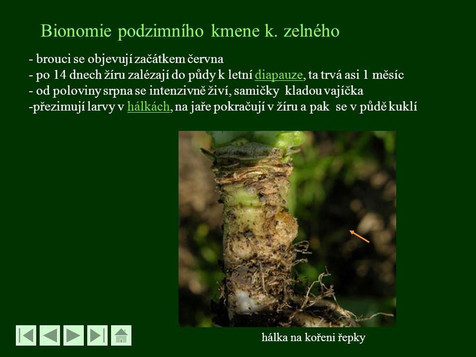 Bionomie podzimního kmene k. zelného