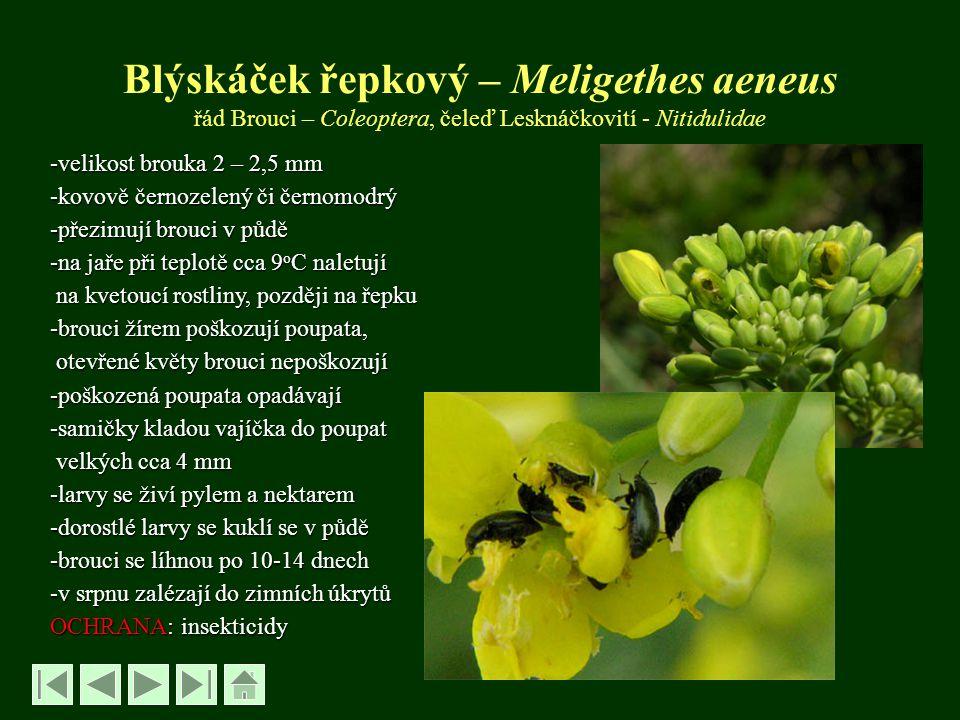 Blýskáček řepkový – Meligethes aeneus řád Brouci – Coleoptera, čeleď Lesknáčkovití - Nitidulidae